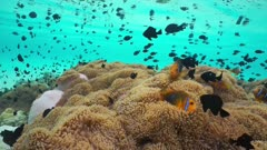 French Polynesia marine life underwater sea anemones with a shoal of tropical fish damselfish and clownfish, lagoon of Huahine island, Pacific ocean