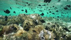 Many tropical fish damselfish and anemonefish with sea anemones underwater, Pacific ocean, French Polynesia, static scene, lagoon of Huahine island
