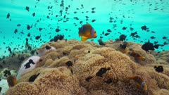 Thriving underwater marine life in shallow water, many Magnificent sea anemones with a shoal of tropical fish orange-fin anemonefish and threespot dascyllus, French Polynesia, Huahine, Pacific ocean