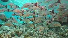 Shoal of fish humpback red snapper, Lutjanus gibbus, underwater on a shallow coral reef, static scene, Rangiroa, Pacific ocean, French Polynesia