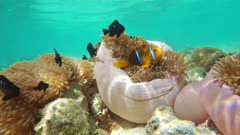Tropical fish an orange-fin anemonefish on a Magnificent sea anemone with threespot dascyllus damselfish, static underwater scene, French Polynesia, Huahine, Pacific ocean