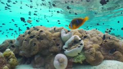 Tropical marine life underwater in a lagoon of a French Polynesian island, Magnificent sea anemones with a shoal of fish orange-fin anemonefish and threespot dascyllus, Huahine, Pacific ocean