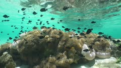 Underwater marine life in a lagoon of French Polynesia, sea anemones with many tropical fish (damselfish and anemonefish), Huahine, Pacific ocean, static scene