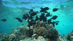 Shoal of fish underwater (mostly whitecheek surgeonfish and sailfin tang) feeding on a shallow coral reef with water surface in background, static scene, Tuamotus, Pacific ocean, French Polynesia