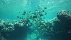 Shoal of fish whitespotted surgeonfish, Acanthurus guttatus, underwater scene on the outer reef, Huahine island, Pacific ocean, French Polynesia