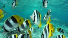 Shoal of tropical fish, Pacific double-saddle butterflyfish in foreground with blacktip reef sharks in background, Pacific ocean, static underwater scene, Huahine, French Polynesia