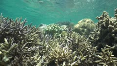 Corals bathed in sunlight below water surface with tropical fish damselfish, south Pacific ocean, static underwater scene,  lagoon of Grand Terre island, New Caledonia