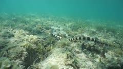 Underwater sea snake banded sea krait, Laticauda colubrina, hunting on the ocean floor in the lagoon of Grand Terre island in New Caledonia, south Pacific ocean