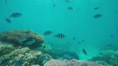 Shoal of fish scissortail sergeant damselfish and corals underwater, static scene, south Pacific ocean, New Caledonia