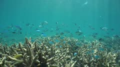 Underwater shoal of tropical fish damselfish green chromis and scissortail sergeant over staghorn coral, south Pacific ocean, New Caledonia