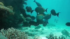 Tropical fish shoal mostly yellowfin surgeonfish, static underwater scene on the ocean floor, south Pacific ocean, New Caledonia