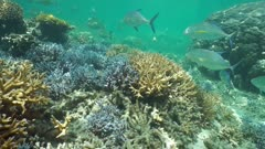 Underwater corals with tropical fishes bluefin trevally and bluespine unicornfish, south Pacific ocean, New Caledonia