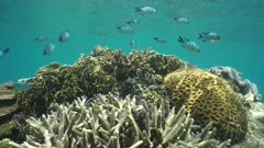 Various species of corals in shallow water with tropical fish sergeant-major damselfish, static underwater scene, south Pacific ocean, New Caledonia