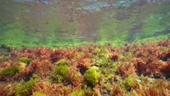 The ripples of seaweeds below the water surface, natural light, underwater scene, Mediterranean sea, Costa Brava, Catalonia, Spain