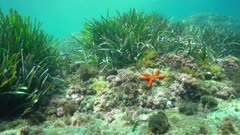 Underwater seagrass and algae with a red starfish on the seabed in the Mediterranean sea, natural light, Costa Brava, Catalonia, Spain