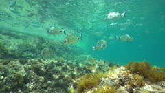 A shoal of fishes (mostly white and saddled seabream fish) in shallow water between water surface and rock, underwater scene, Mediterranean sea, Denia, Alicante, Costa Blanca, Spain