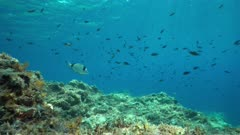 Shoal of fish underwater in the Mediterranean sea, damselfish Chromis chromis, Catalonia, Cap de Creus, Costa Brava, Spain
