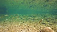 Underwater a shoal of fish in a rocky river (chub Squalius cephalus), La Muga, Girona, Alt Emporda, Catalonia, Spain