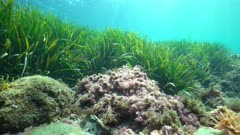 Algae and seagrass underwater in the Mediterranean sea on a shallow seabed, natural light, Costa Brava, Catalonia, Spain