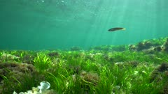 Grassy seabed underwater with natural sunlight, Mediterranean sea, Cabo de Palos, Cartagena, Murcia, Spain
