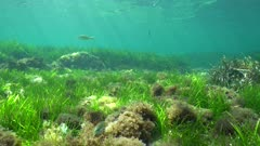 Grassy seafloor with some fish in shallow water in the Mediterranean sea, underwater scene, natural sunlight, Cabo de Palos, Cartagena, Murcia, Spain