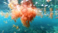 Aggregate of jellyfish Pelagia noctiluca underwater below sea surface in Mediterranean
