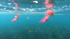 Jellyfish below water surface with fish in background on seabed, underwater in Mediterranean sea, Spain