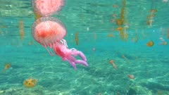 Several jellyfish underwater in Mediterranean sea, mauve stinger Pelagia noctiluca