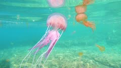Colorful jellyfish underwater in Mediterranean sea, mauve stinger Pelagia noctiluca