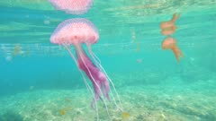 Close up of a jellyfish underwater in Mediterranean sea, Mauve stinger Pelagia noctiluca