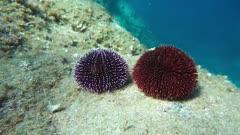 Underwater two sea urchins Sphaerechinus granularis on a rock, Mediterranean sea, Cap de Creus, Costa Brava, Catalonia, Spain