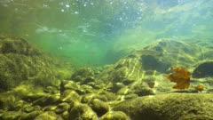 Freshwater fishes underwater in a rocky flowing river, La Muga, Girona, Alt Emporda, Catalonia, Spain