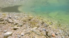Several freshwater fish (Mediterranean barbel) underwater in a river searching for food on the riverbed, Spain, La Muga, Catalonia