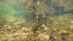 Freshwater fishes below tree branch underwater in a river, La Muga, Catalonia, Spain
