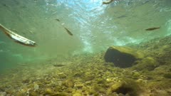 River underwater with small fishes Eurasian minnow and some Mediterranean barbel on the riverbed, La Muga, Girona, Alt Emporda, Catalonia, Spain