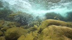The flow of water in a creek with rocks and fish (Eurasian minnow, Phoxinus phoxinus), underwater scene, La Muga, Girona, Alt Emporda, Catalonia, Spain