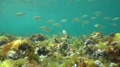A school of fish (Sarpa salpa) in shallow water with seaweeds on the seabed, Mediterranean sea, underwater scene, natural light, Denia, Alicante, Costa Blanca, Spain
