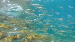 School of fish underwater mullets in the Mediterranean sea, Spain, Costa Brava, Cap de Creus