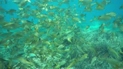 Shoal of fish underwater in the Mediterranean sea ( dreamfish, Sarpa salpa ), Catalonia, Costa Brava, Spain