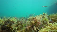 Underwater algae and seagrass torn off by the swell on the seabed with some fish, Mediterranean sea, Cap de Creus, Costa Brava, Catalonia, Spain