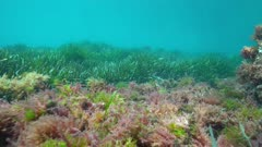 Seaweed and seagrass underwater on the seabed in the Mediterranean sea, natural light, Costa Brava, Catalonia, Spain