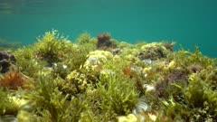 The diversity of seaweeds underwater in the Mediterranean sea in spring, Costa Brava, Catalonia, Spain