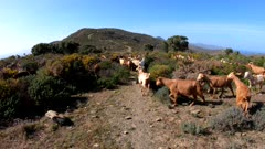 Spain moving on a footpath through scrubland with a herd of goats, Catalonia, Alt Emporda, Cap de Creus natural park, Girona province