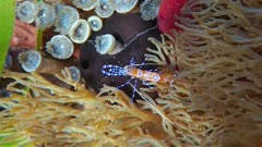 A colorful spotted cleaner shrimp, Periclimenes yucatanicus, underwater viewed from above, Caribbean sea, Mexico