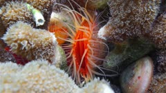Sea life, close up of a Flame scallop, Ctenoides scaber, bivalve mollusk in the Caribbean sea