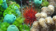 Sea urchin underwater with sponge and coral on the seabed of the Caribbean sea