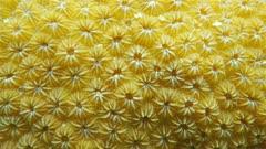 Underwater marine life, close up video of lobed star coral, Orbicella annularis, Caribbean sea