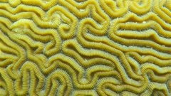 Sea life, close up of grooved brain coral, Caribbean sea