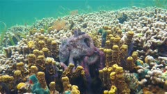 Couple of Caribbean reef octopus, Octopus briareus, mating on a coral reef with yellow tube sponge, Panama, Central America