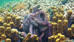 Underwater marine life, couple of Caribbean reef octopus mating, Panama